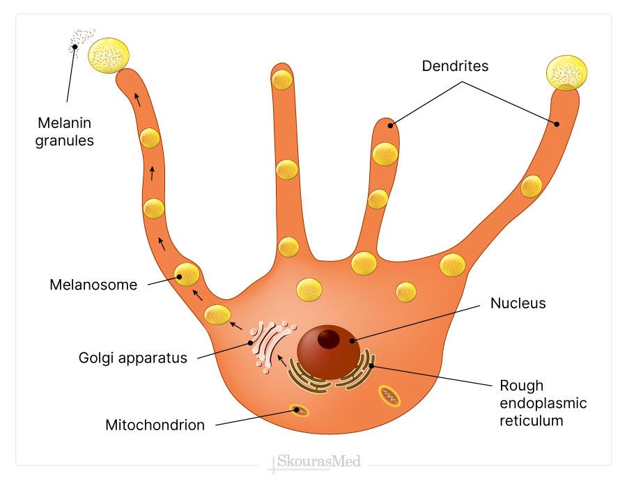 Melanogenesis Process