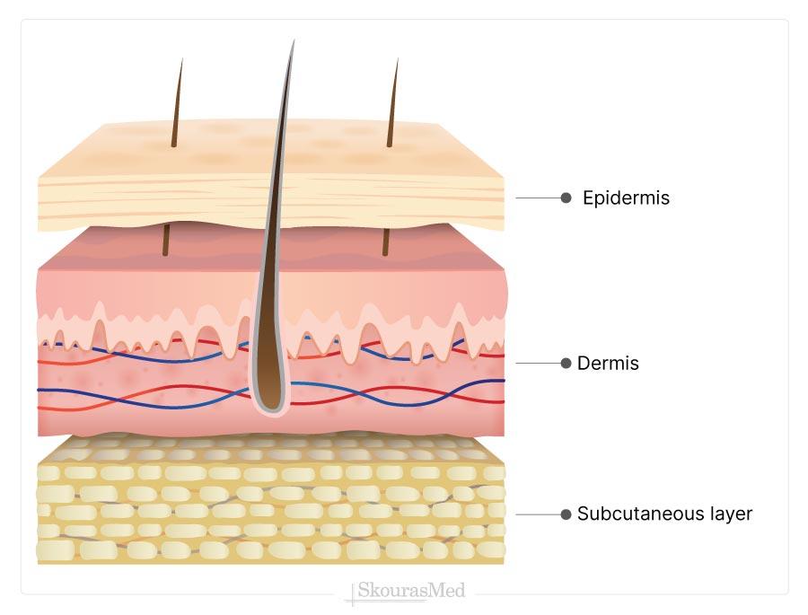Skin's Layers