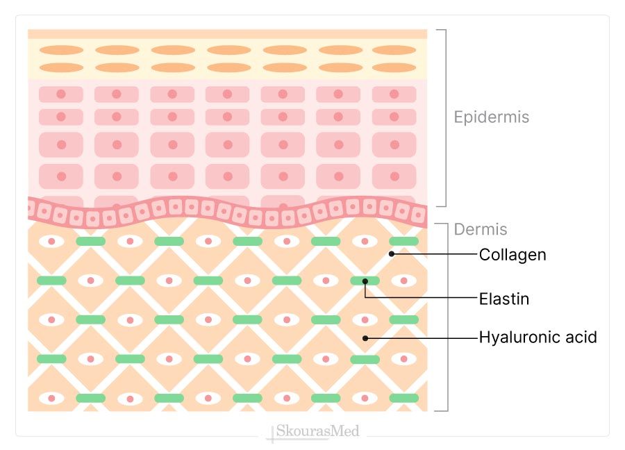 Skin's Layers - Dermis