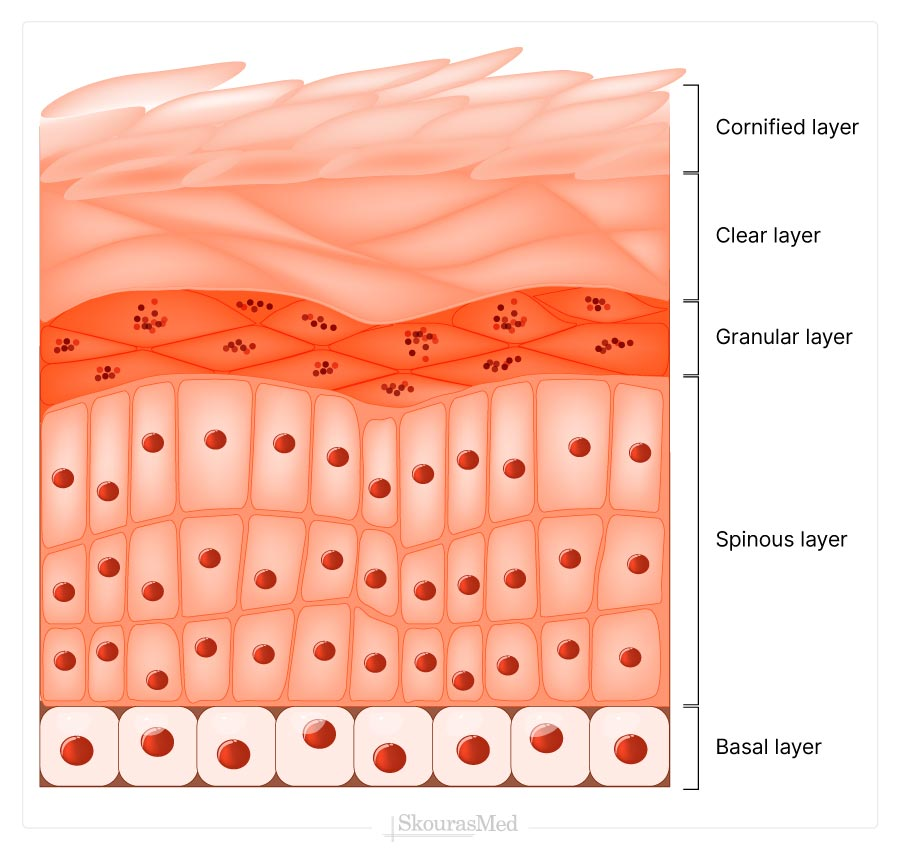 Skin's Layers - Epidermis