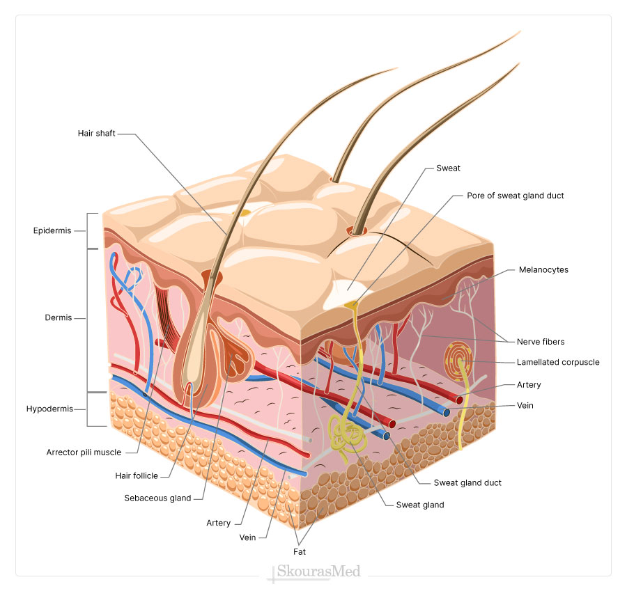 Skin Structure and Layers